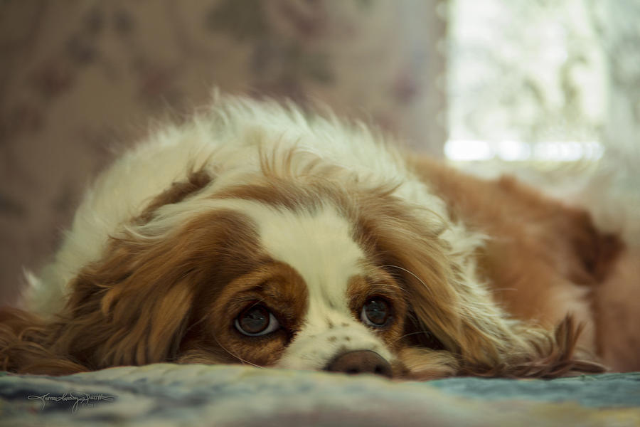 King Charles Spaniel Photograph - Liebe by Karen Casey-Smith