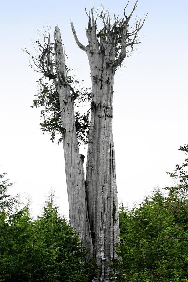 Thuja Plicata Photograph - Life At The Top - Duncan Cedar Olympic National Park Wa by Christine Till