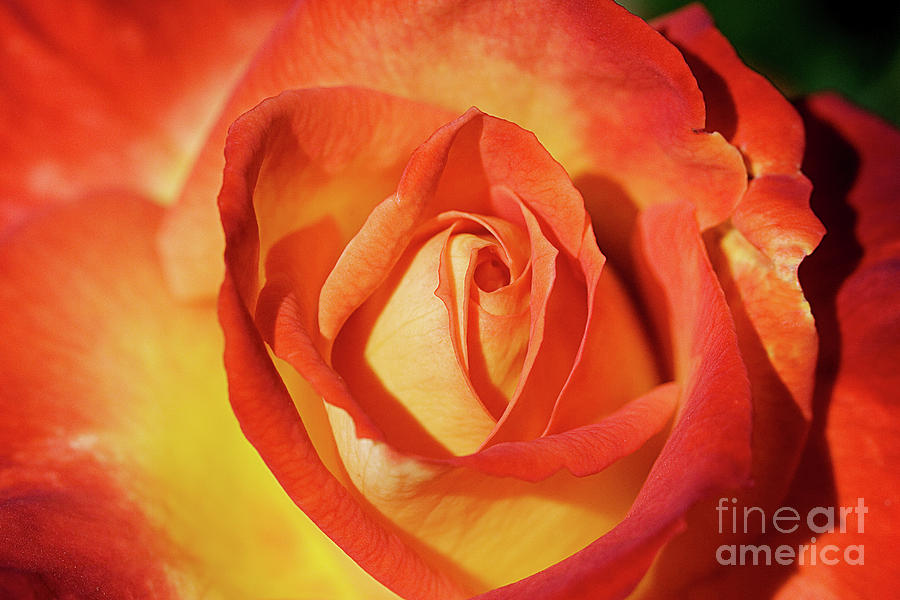Rose Photograph - Life Is Like A Rose Peeping Through The Hardships Of Life To Bloom With Color by Fir Mamat