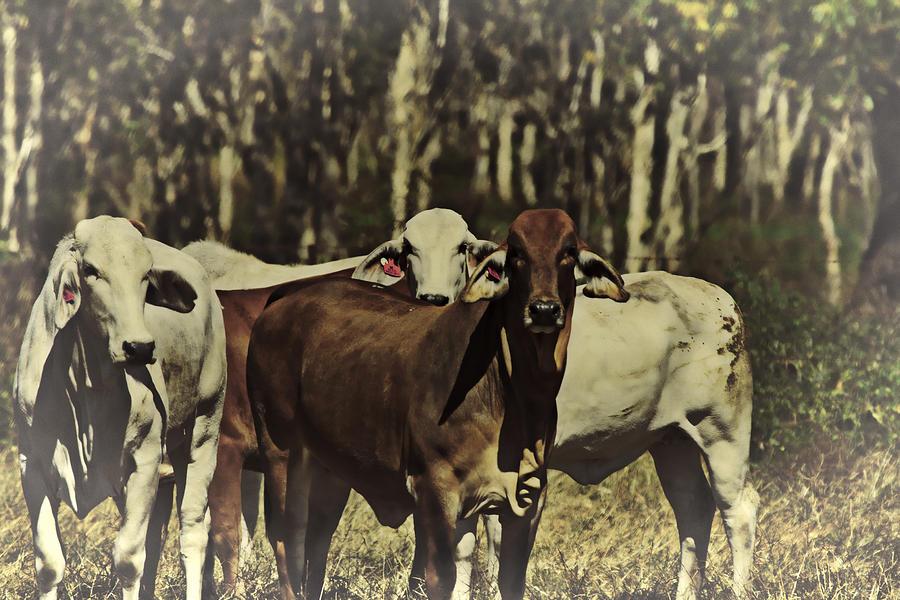 Brahman Cows Photograph - Life On The Farm V3 by Douglas Barnard