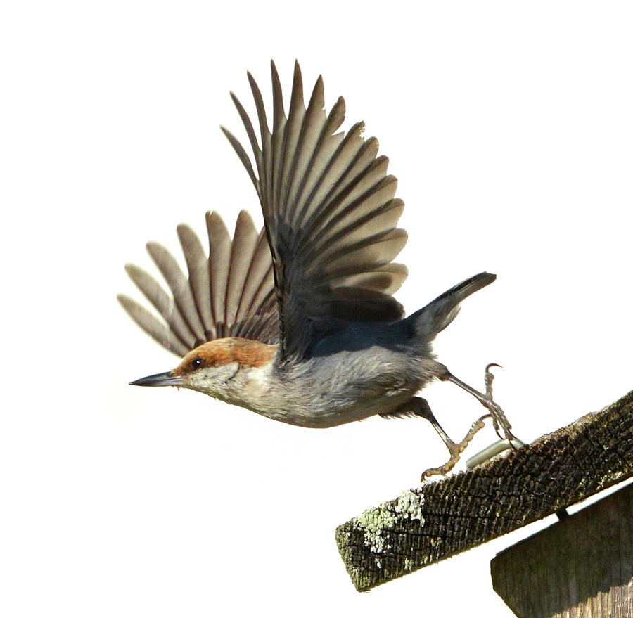 Nuthatch Photograph - Lift Off by Jerry Griffin