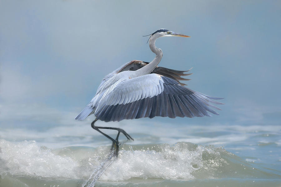 Great Blue Heron Photograph - Lifting Off by Donna Kennedy