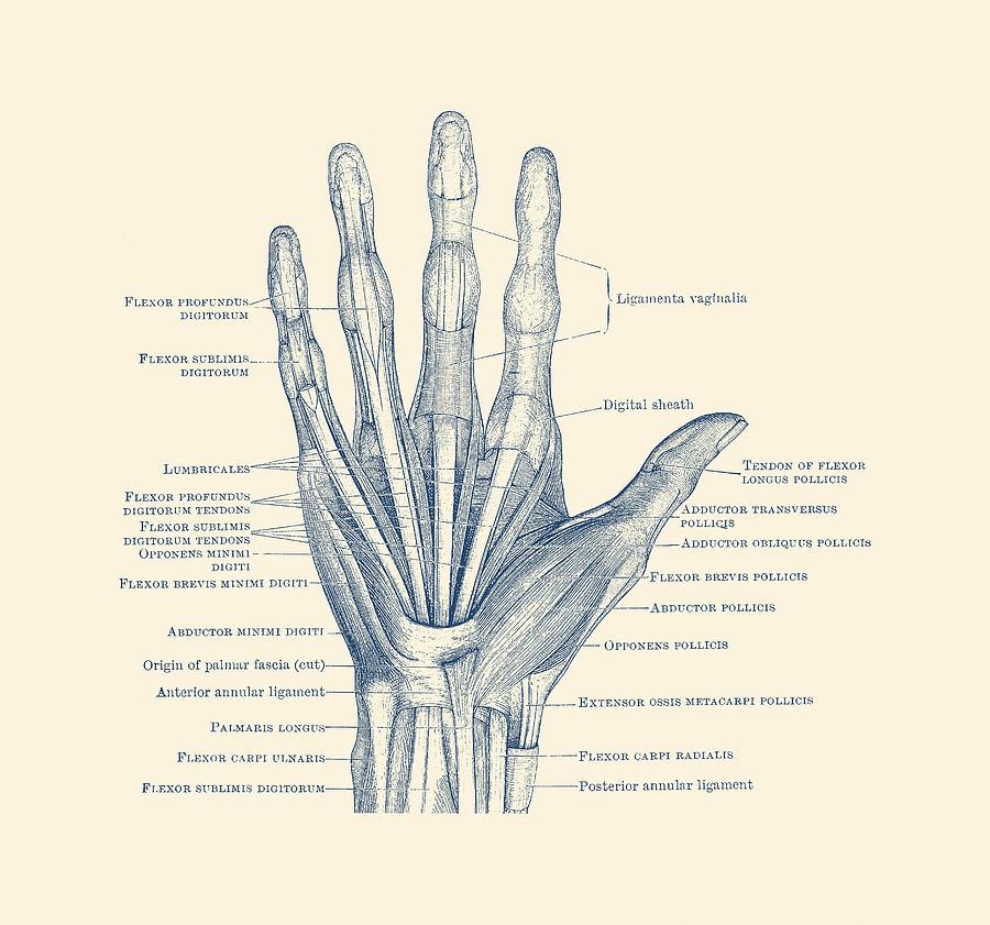 Ligaments And Bones - Human Hand Diagram - Vintage Anatomy Drawing ...