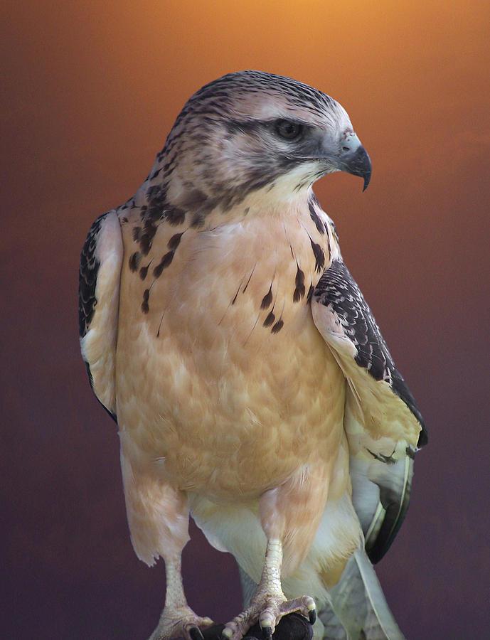 Hawks Photograph - Light Morph Immature Swainsons Hawk by Ernie Echols