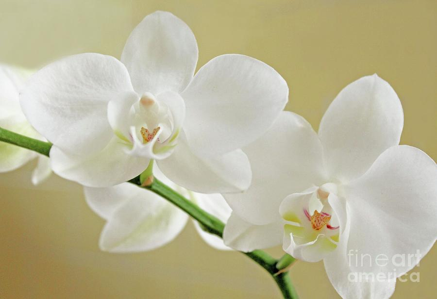 Orchid Photograph - Light On White by Lynne M Albright