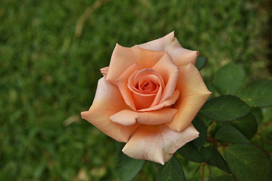 Light Orange Rose Photograph By Linda Brody