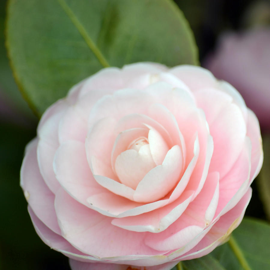 Light Pink Photograph   Light Pink Camellia Flower By P S
