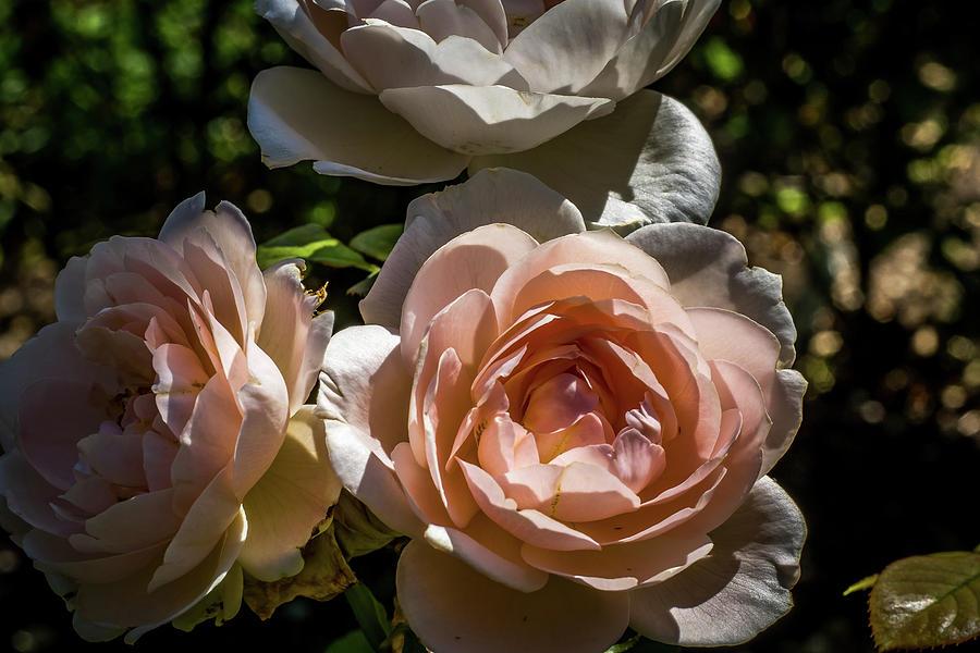 Natural Photograph - Light Pink Roses by Howard Roberts
