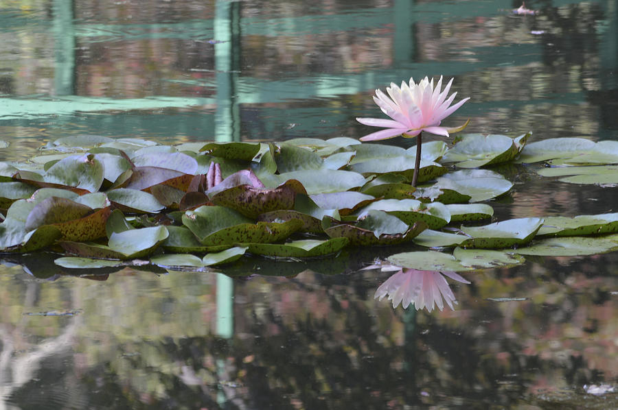 Water Lilies Photograph - Light Pink Water Lily by Linda Geiger