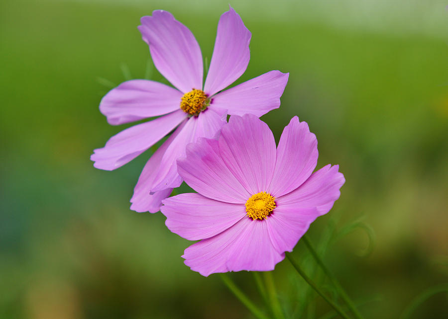 Flower Photograph   Light Purple Flowers By Edward Myers Images