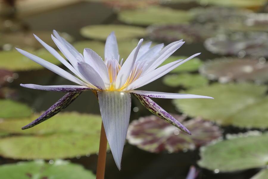 Light Purple Lily Photograph by Deborah Starobin-Armstrong
