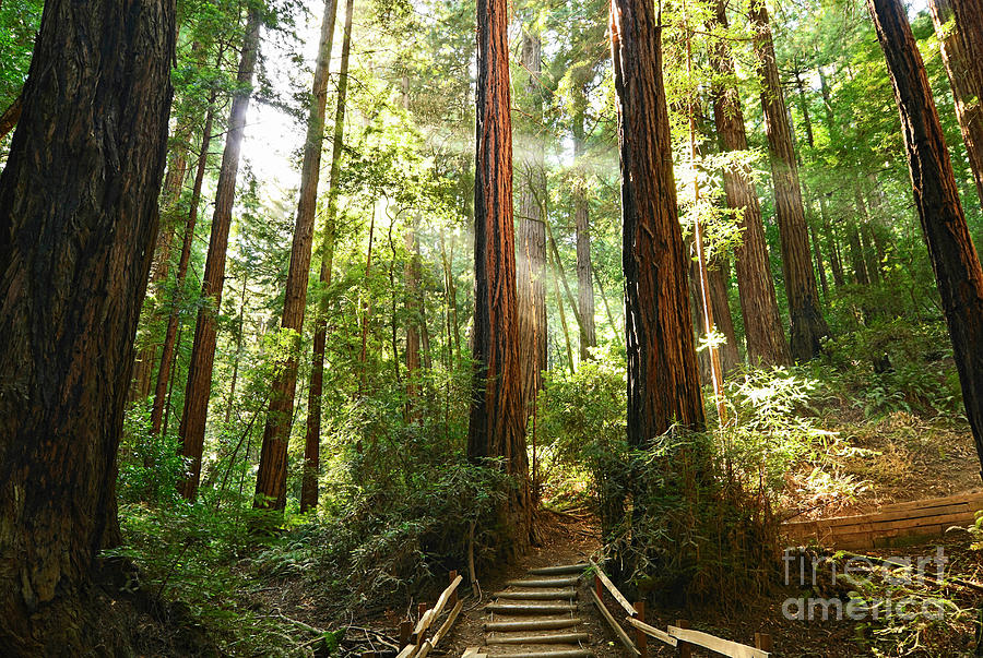Redwood Photograph - Light The Way - Redwood Forest Of Muir Woods National Monument With Sun Beam. by Jamie Pham