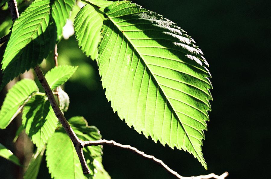 Leaf Photograph - Light Up Leaf by Jonathan Michael Bowman