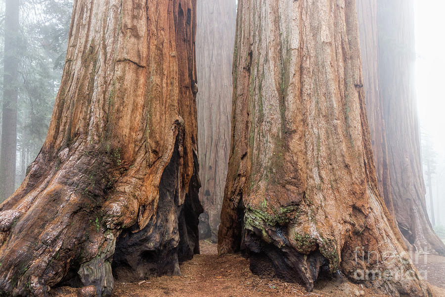 Sequoia National Park Photograph - Like Giant Feet by Peggy Hughes