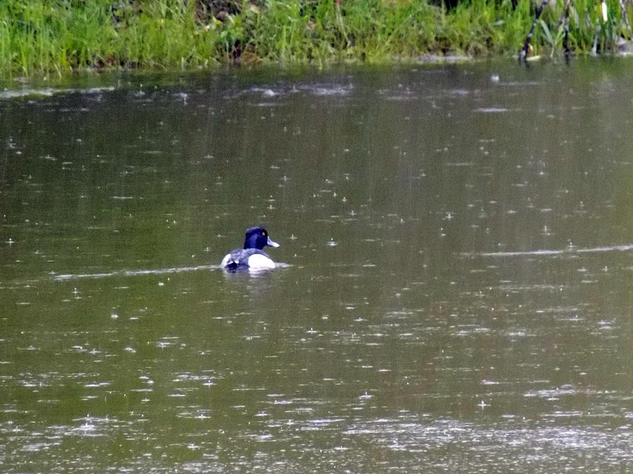 Duck Photograph - Like Rain Off A Ducks Back by William Tasker