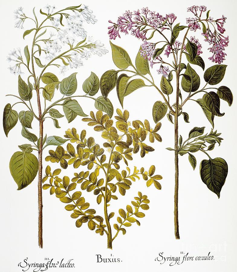 Basilius Photograph - Lilac And Box, 1613 by Granger