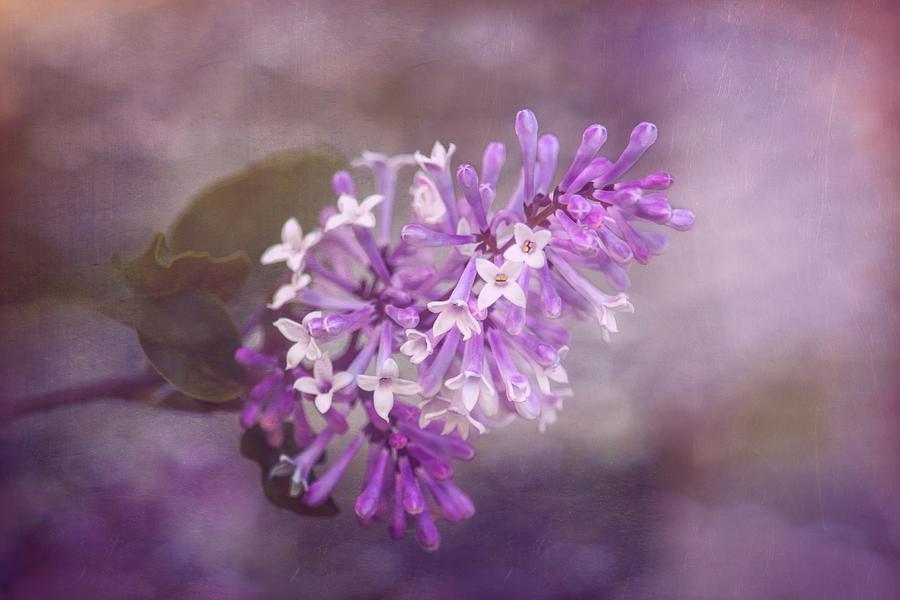 Bloom Photograph - Lilac Blossom by Tom Mc Nemar