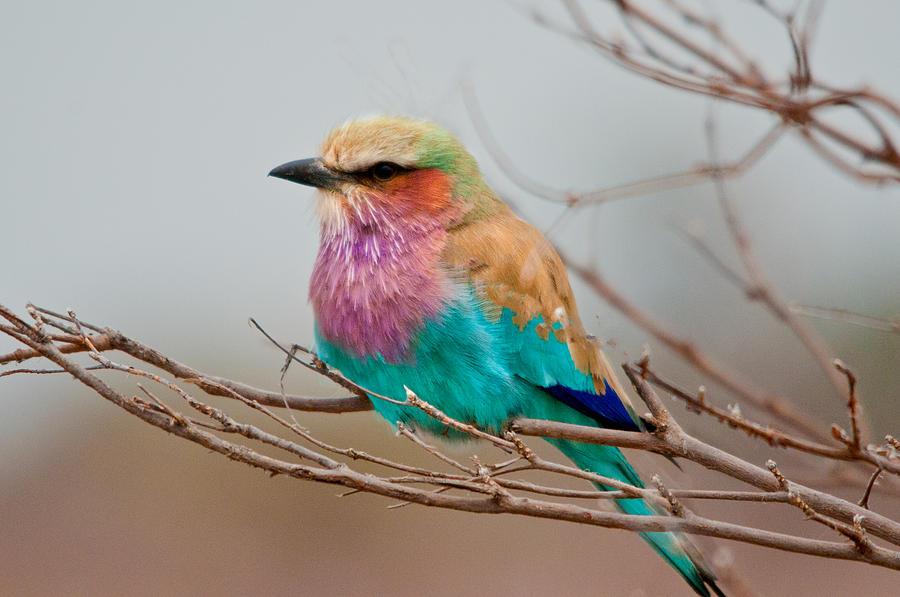 Birds Photograph - Lilac-breasted Roller by John Klingel