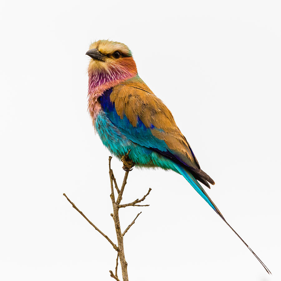 Lilac-breasted Roller by Stefan Nielsen