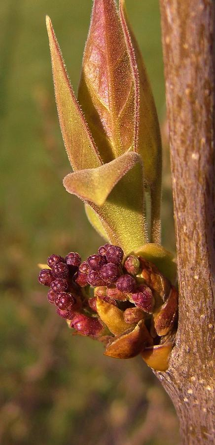 Lilac Bush Buds Early Spring Indiana Photograph by Rory Cubel
