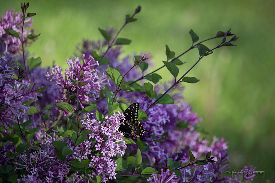 Lilac Photograph - Lilac Enchantment by Karen Casey-Smith