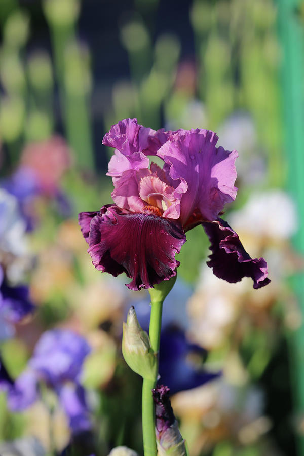 Lilac Iris In Bloom Photograph