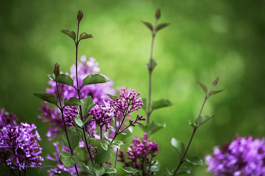 Lilacs Photograph - Lilac Memories by Karen Casey-Smith