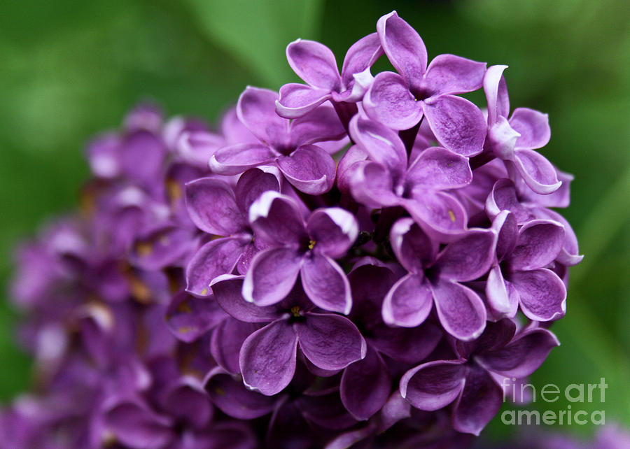 Lilac Photograph - Lilac by Nora Blansett