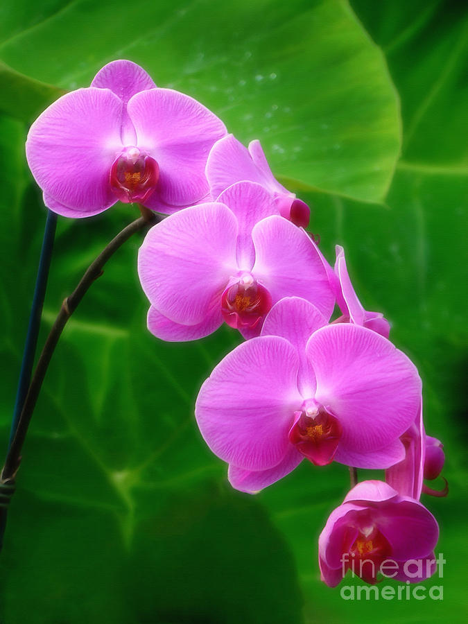 Orchid Photograph - Lilac Orchid Beauties by Sue Melvin
