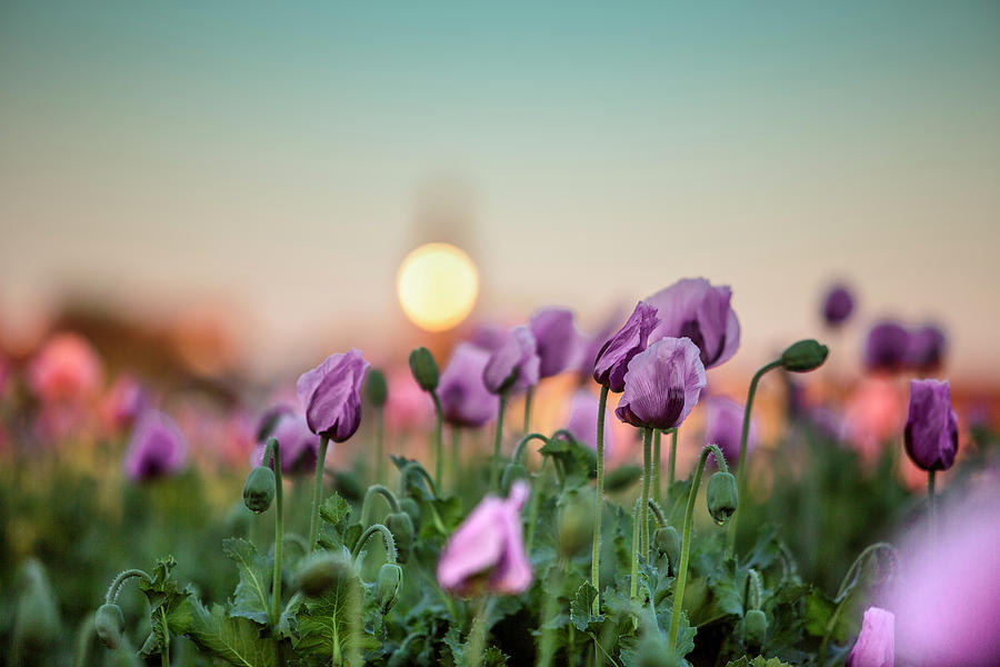 Lilac Poppy Flowers Photograph