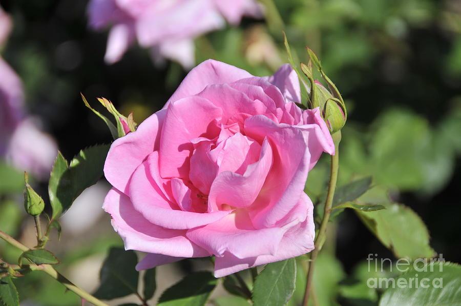 Lilac Photograph - Lilac Rose 2 by Rudolf Strutz
