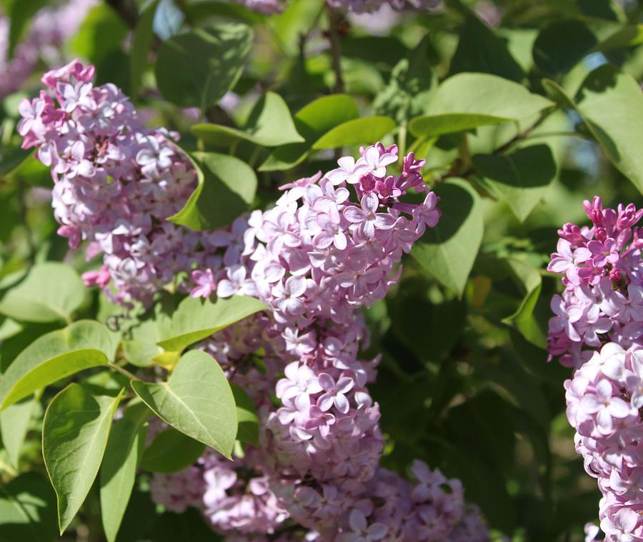 Lilacs Photograph - Lilacs 5544 by Antonio Romero