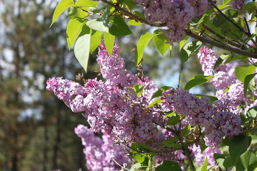 Lilacs Photograph - Lilacs 5545 by Antonio Romero