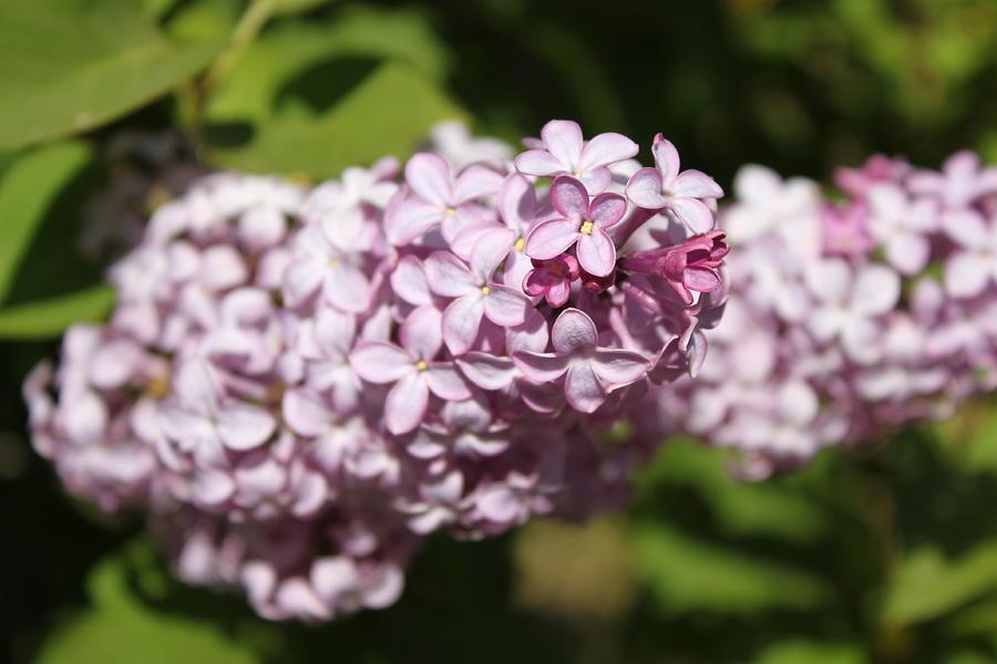 Lilacs Photograph - Lilacs 5549 by Antonio Romero