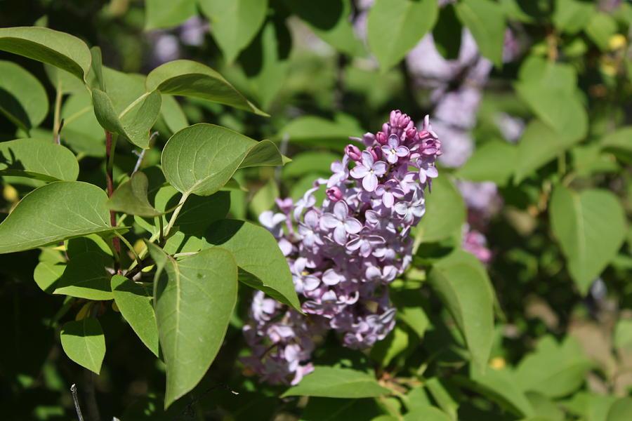 Lilacs Photograph - Lilacs 5551 by Antonio Romero