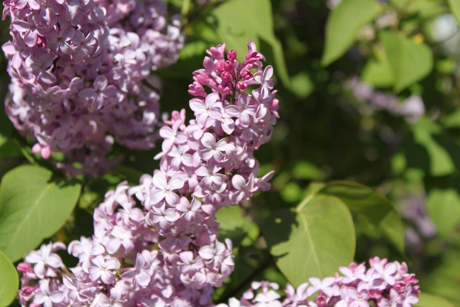 Lilacs Photograph - Lilacs 5552 by Antonio Romero