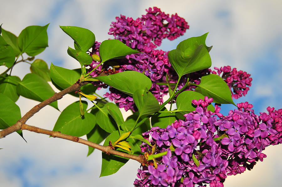 Flower Photograph - Lilacs by Catherine Reusch Daley