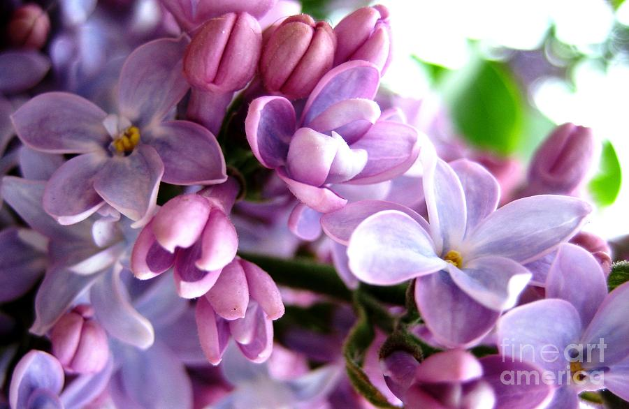 Lilacs by Cindy Schneider