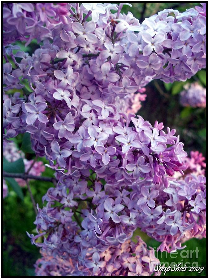 Lilacs Photograph - Lilacs by Emily Kelley