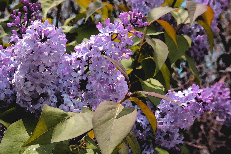 Lilac Photograph - Lilacs II by Lynne Guimond Sabean