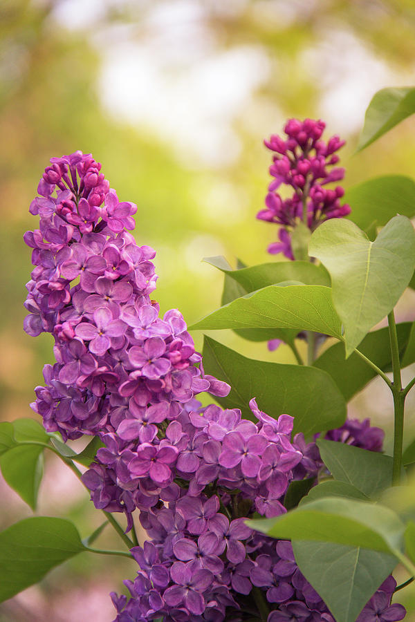 Lilacs in Evening Glow by Joni Eskridge