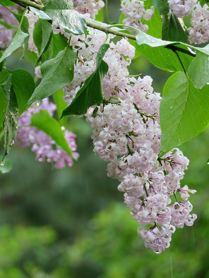 Lilacs Photograph - Lilacs In The Rain 6 by Brooks Garten Hauschild