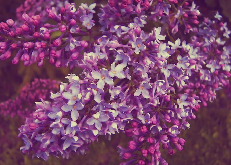 Lilac Photograph - Lilacs by JAMART Photography