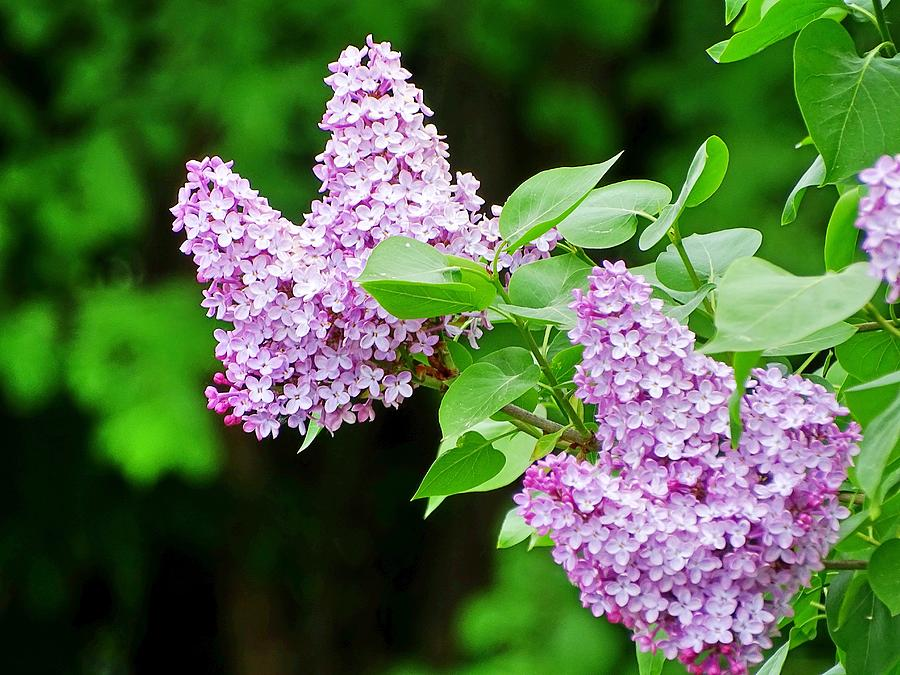 Lilacs Photograph - Lilacs by Mhiss Little