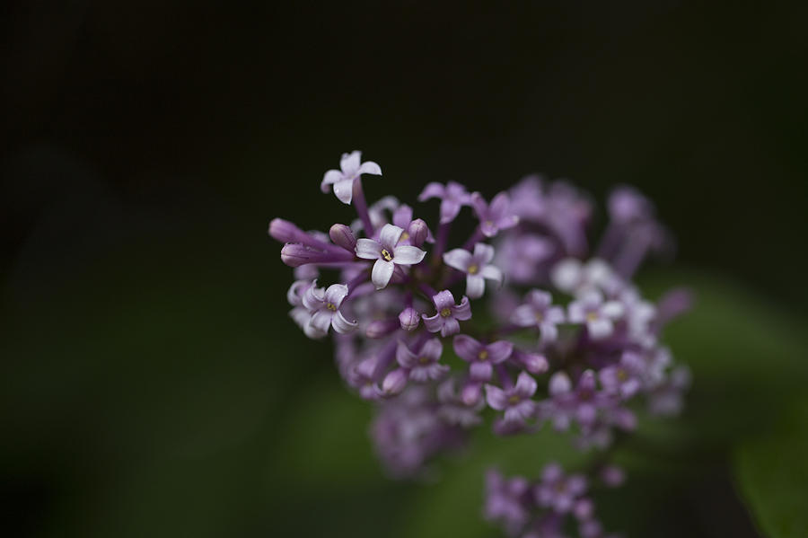Lilacs Photograph - Lilacs2 by Liz Howerton