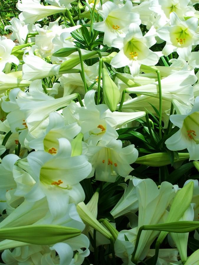 Lily Photograph - Lilies 11 by Anna Villarreal Garbis