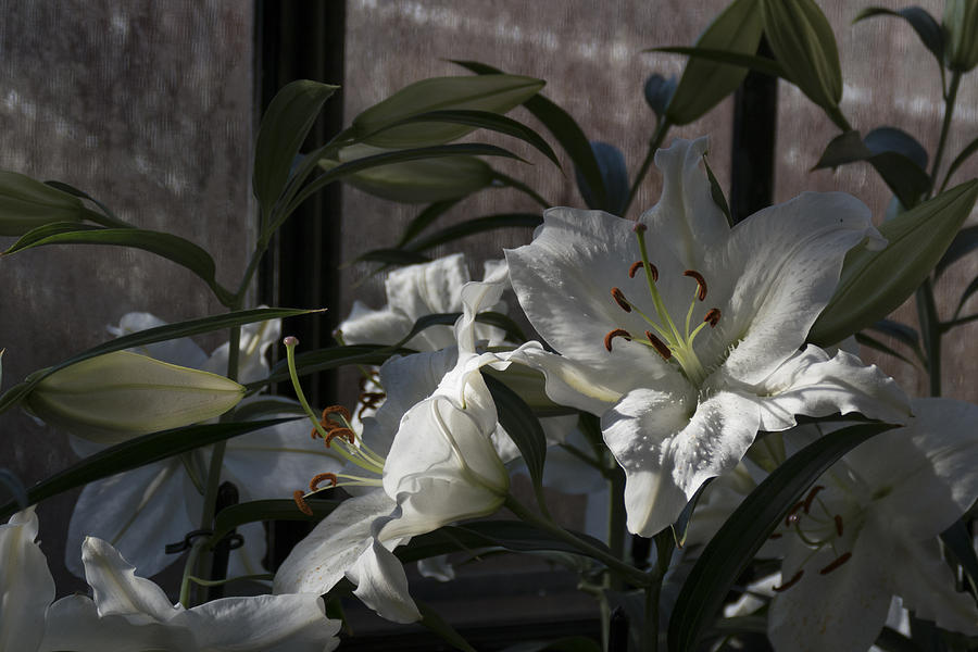 Lilies at Longwood by Lois Johnson