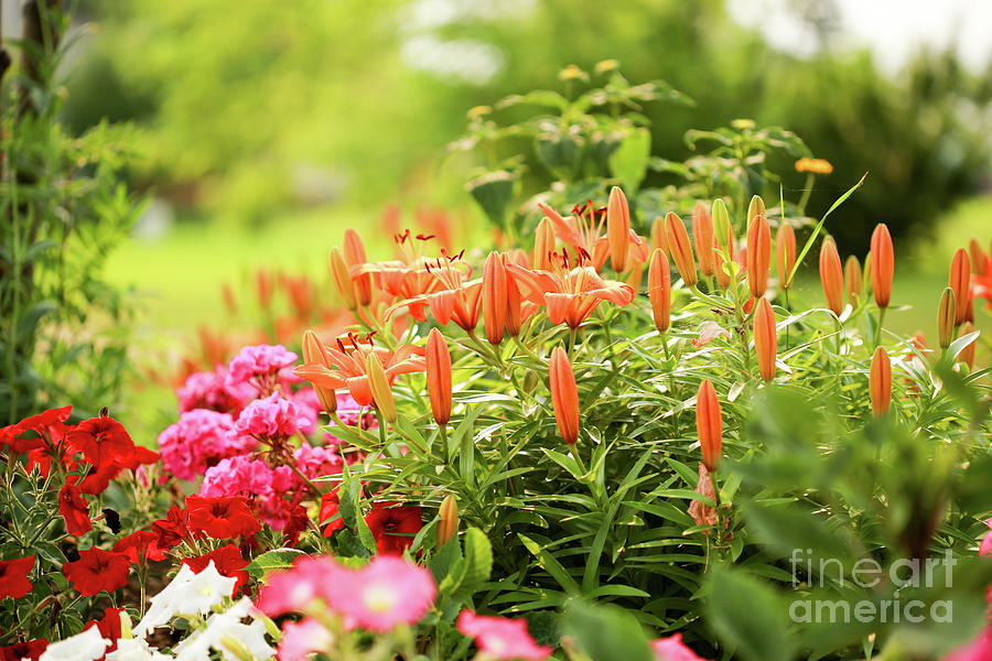 Lilies In The Garden Photograph