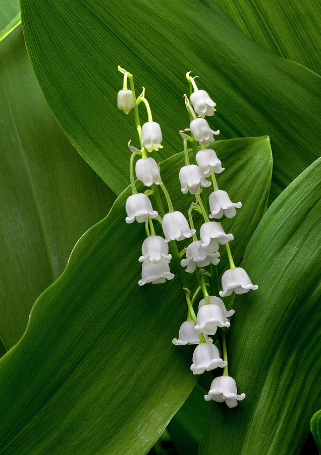 Lilies Of The Valley Photograph - Lilies Of The Valley by George Sanquist