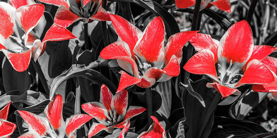 Selective Color Photograph - Lilies With A Splash Of Color by Michael Putthoff